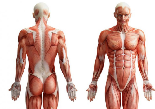 corpo umano schiena